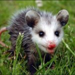 cropped-opossum2.jpg