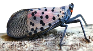 Lateral spotted lanternfly